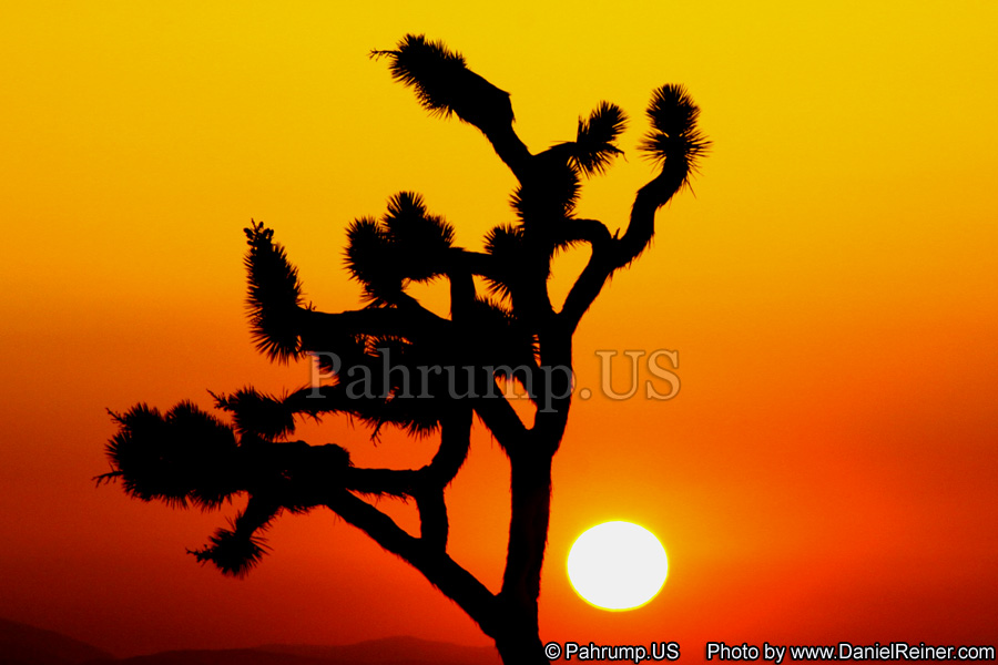 Image of Joshua Tree at Sunset