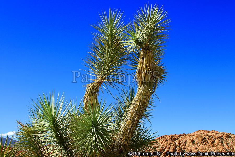 Pahrump Yucca Tree